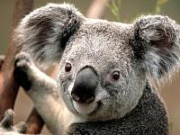 Clica en la imatge per veure més gran  Nom:  Koala.jpg Vistes: 18 Grandària:  127,3 KB