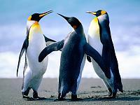 Clica en la imatge per veure més gran  Nom:  Penguins.jpg Vistes: 15 Grandària:  93,8 KB